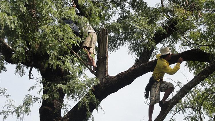 Arbeiter schneiden Äste der Palmen