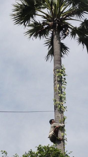 Einer der Arbeiter klettert auf eine Palme