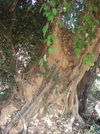 Johannes: imposanter Baum im hinteren Teil des Grundstücks